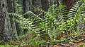 Ostrich ferns and wood sorrel.jpg