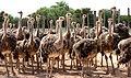 Oudtshoorn Ostriches - Garden Route, South Africa (3919286396).jpg