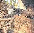 Owl at the Bharatpur or Koeladeo Bird Sanctuary.jpg