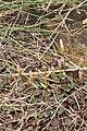 Oxalis depressa (Oxalidaceae) (6786077376).jpg