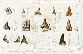 Illustration of numerous English fossil shark teeth