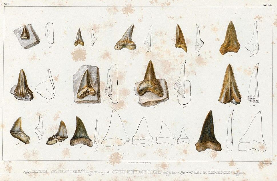 Oxyrhina mantelli, Oxyrhina retroflexus, and Oxyrhina xiphodon syntypes- Recherches sur les poissons fossiles (Tab. 33)