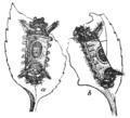 PSM V76 D216 Saddleback caterpillar.png