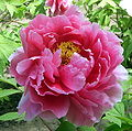 Paeonia suffruticosa at Beijing.jpg