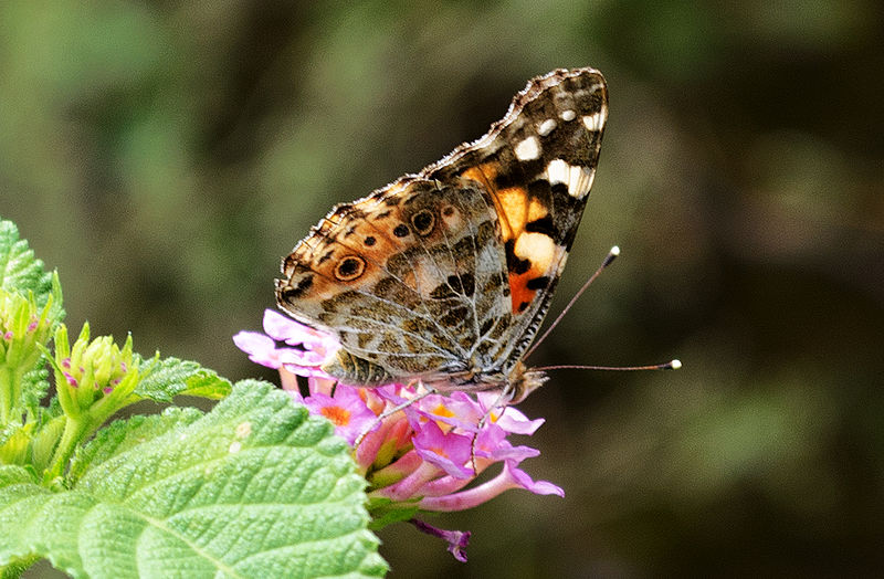 Can Painted Lady Butterflies Eat Grapes