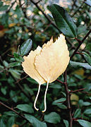 Pair of birch leafs.jpg