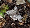 Pale Tussock. Calliteara pudibunda 3 - Flickr - gailhampshire.jpg