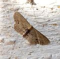 Pale marked Idaea dimidiata, Single Dotted Wave - Flickr - gailhampshire.jpg