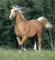 180px-Palomino_Horse dans CHEVAL
