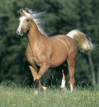 Cream gene - The action of the cream gene on a chestnut base coat produces palomino.