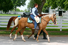 Photo d'un cavalier montant un Kentucky Mountain Saddle Horse grand de plus de 1,47 mètres (classe A).