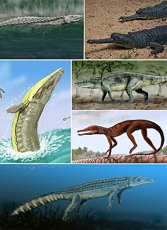 Archosaur - Examples of pseudosuchians. Clockwise from top-left: Longosuchus meadei (an aetosaur), Gavialis gangeticus, (a crocodilian), Saurosuchus galilei (a rauisuchian), Pedeticosaurus leviseuri (a sphenosuchian), Chenanisuchus lateroculi (a dyrosaurid), and Dakosaurus maximus (a thalattosuchian).