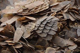 Pangolin trade - Confiscated pangolin scales set to be destroyed in Cameroon in 2017