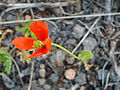 Papaver hibridum Var. minima Plant 2009-4-28 DehesaBoyalPuertollano.jpg