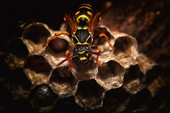 Paper wasp in the nest.jpg