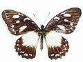 Papilio jacksoni Sharpe, 1891.JPG