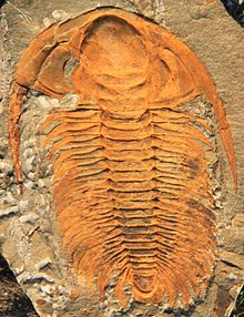 Paradoxides sp., late Cambrian