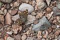 Pararge aegeria - Karanlık Ormanesmeri - Speckled Wood 03.jpg