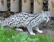 Pardine Genet at Wingham Wildlife Park