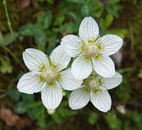 Parnassia palustris 20060729105027wp