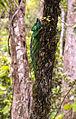 Parson's Chameleon (Calumma parsonii) (8603112745).jpg