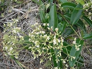 <i>Parsonsia straminea</i> species of plant