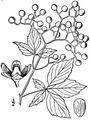 Parthenocissus quinquefolia (L.) Planch. Virginia creeper.tiff