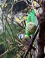 Parus caeruleus Blue Tit profile.jpg