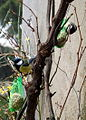 Parus major duo feeder2.jpg