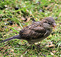 Passer domesticus -left nest the day before -Scotland-8.jpg