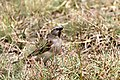 Passer rufocinctus -Kenya -female-8.jpg