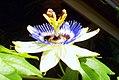 Passionsblume - Collage der Blütenöffnung (5).jpg