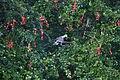 Patagioenas corensis - Bare-eyed Pigeon - Venezuelankyyhky IMG 1010 C.JPG
