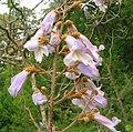 Paulownia tomentosa - flowers.jpg