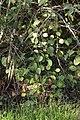 Pear Rust - Gymnosporangium sabinae on Pyrus cf. pyraster (44793331704).jpg