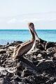 Pelícano pardo de las Galápagos (Pelecanus occidentalis urinator), Las Bachas, isla Santa Cruz, islas Galápagos, Ecuador, 2015-07-23, DD 29.jpg