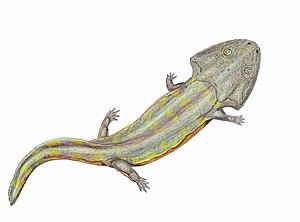 Stereospondyli - Image: Pelorocephalus 1DB