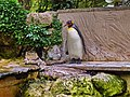 Penguin at Birdland Park and Gardens, Bourton-on-the-Water, Gloucestershire.jpg