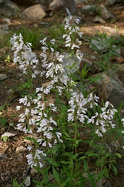 Penstemon arkansanus.jpg