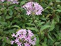 Pentas lanceolata violet.jpg