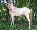 Perlino-color-horse-100 6908.JPG
