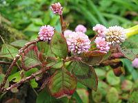 Persicaria capitata (Flower)