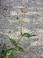 Persicaria maculosa sl5.jpg