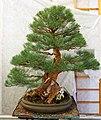 Pescia, museo del bonsai, casuarina equisetifolia, stile moyogi (eretto informale), circa 90 anni, dalla cina.jpg