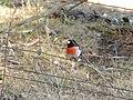 Petroica boodang (9055737371).jpg