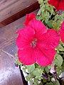 Petunia hybrida - πετούνια 03.jpg