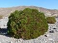 Peucephyllum schottii 2.jpg