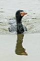 Phalacrocorax africanus00.jpg