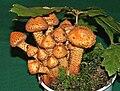 Pholiota squarrosa 1.jpg