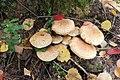 Pholiota squarrosa 95012132.jpg